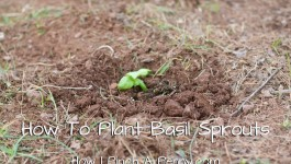 how to plant basil sprouts pinterest